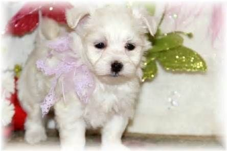 Teacup Yorkie Poo Maltese Puppies For Sale Mississippi Yorkie Dog