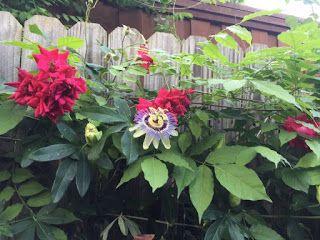 Balkon Pełen Róż: Róże na balkonie - róże pnące i pnącza