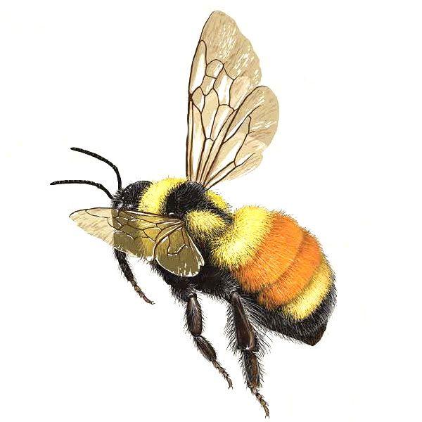 Tri Colored Bumble Bee Bombus Ternarious Bee Painting Bee Art Bee Artwork