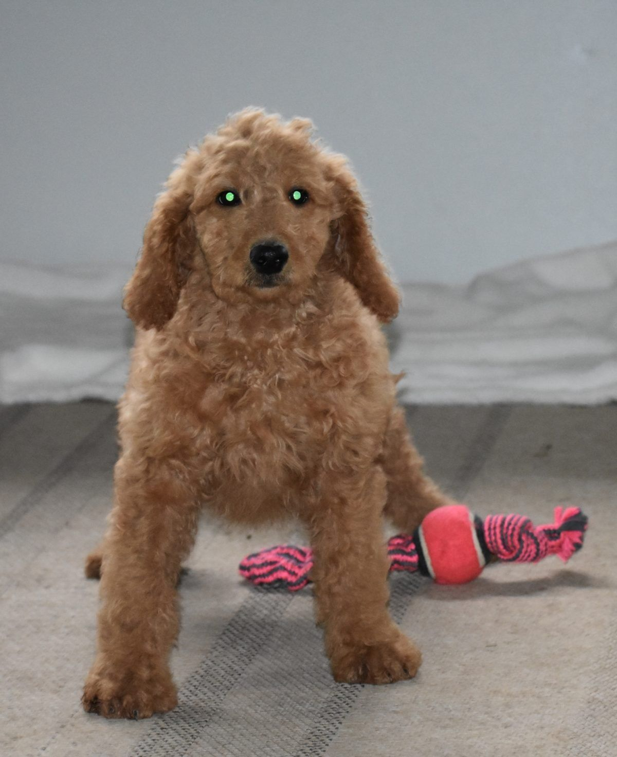 Hope Female F1B Goldendoodle puppy [Syracuse, IN