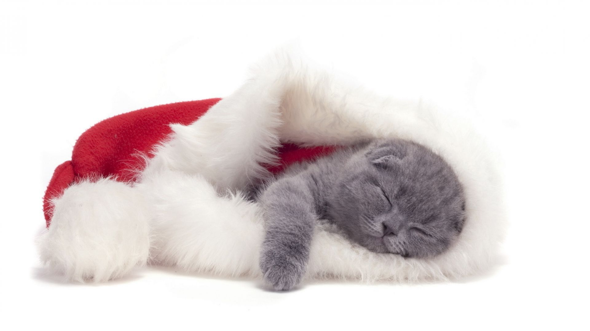 Small Scottish Fold Cat Is Sleeping In A Christmas Hat Cat Scottish Fold Christmas Cats C Is For Cat