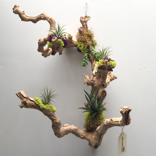Tillandsia driftwood succulents and driftwood air for Air plant planters