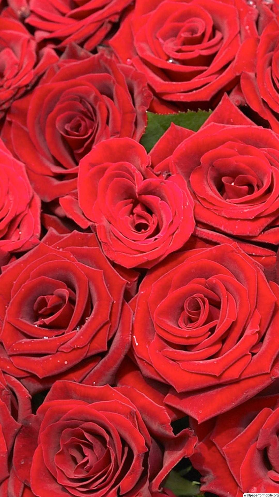 http://wallpaperformobile/11480/beautiful-red-roses-wallpapers
