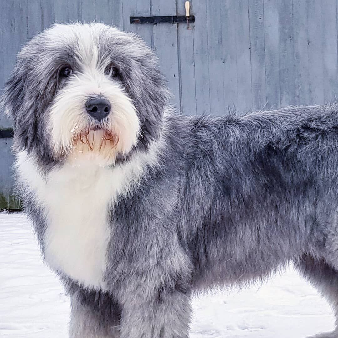 11 Big Fluffy Dog Breeds Perfect To Cuddle With Big Fluffy Dogs