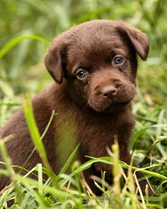 Tag Your Friend S Lab Puppies Labrador Puppy Chocolate Puppies