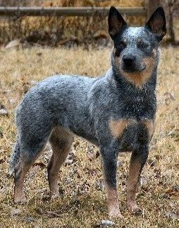 Australian Cattle Dog Dog Breeds Best Dog Breeds Dog Breeds Pictures