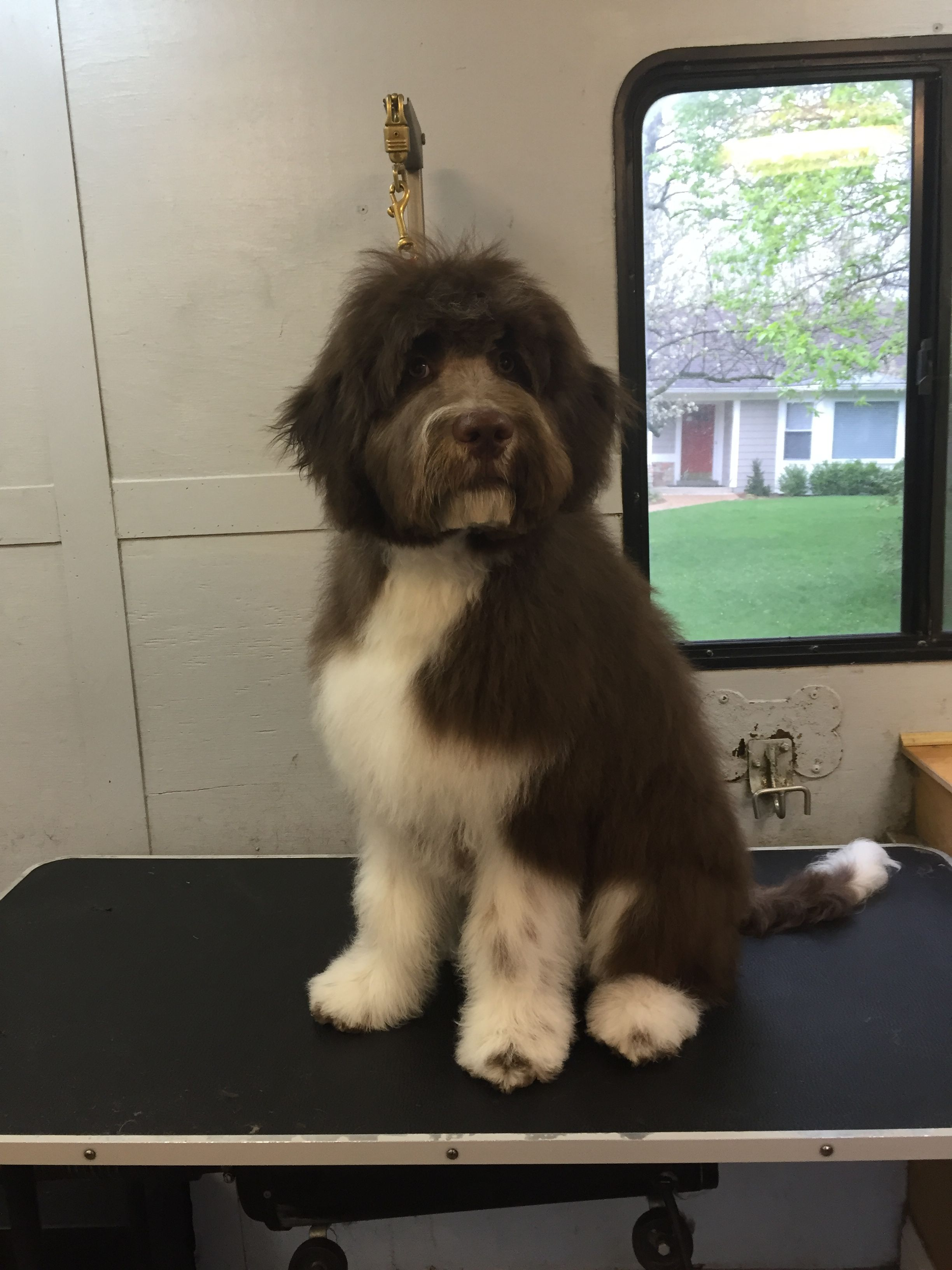 Aussiedoodle Indian Hill Mobile Pet Grooming