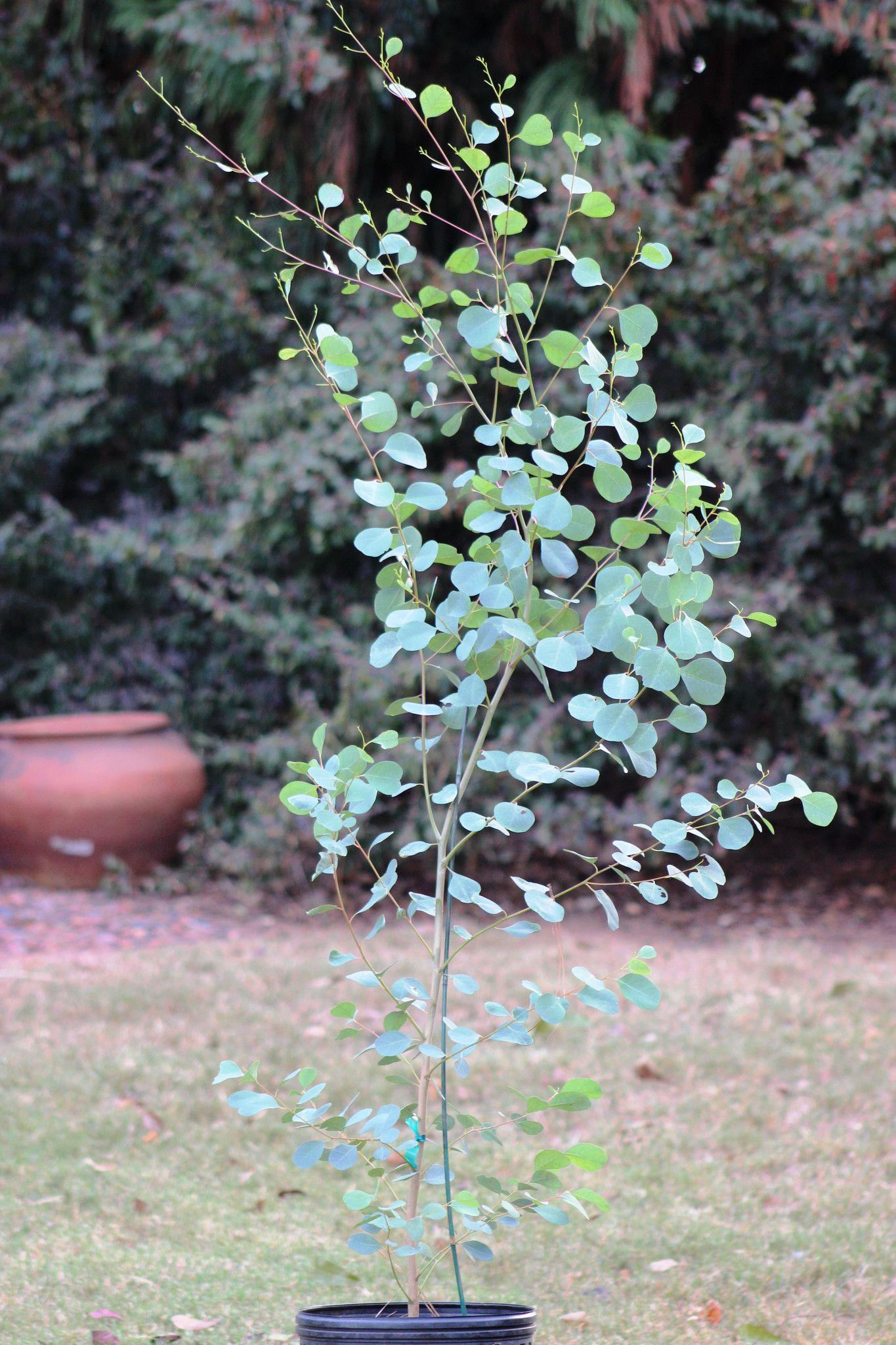 Eucalyptus Camphora Lucky Country Eucalyptus Tree Eucalyptus