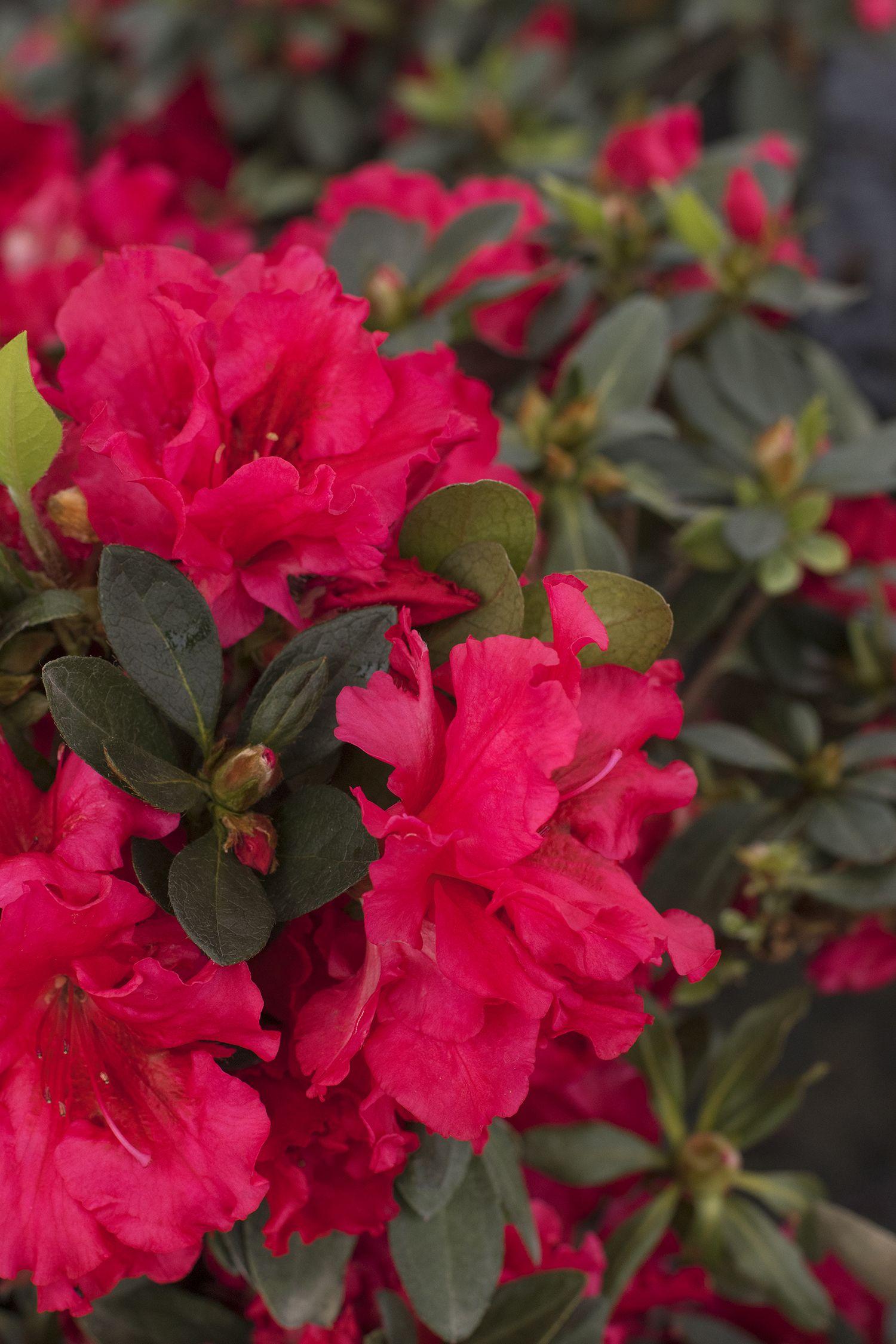 Red Ruffles Azalea Produces Masses Of Showy Deep Cerise Single To Semi Double Blooms With Frilly Petals A Beautiful Evergreen Monrovia Plants Azaleas Plants