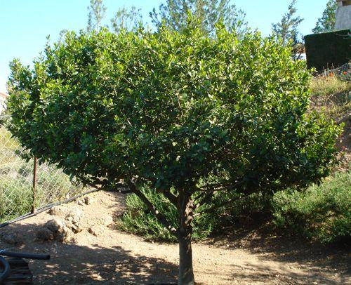 dry shade laurus nobilis the bay tree laurus nobilis. Black Bedroom Furniture Sets. Home Design Ideas