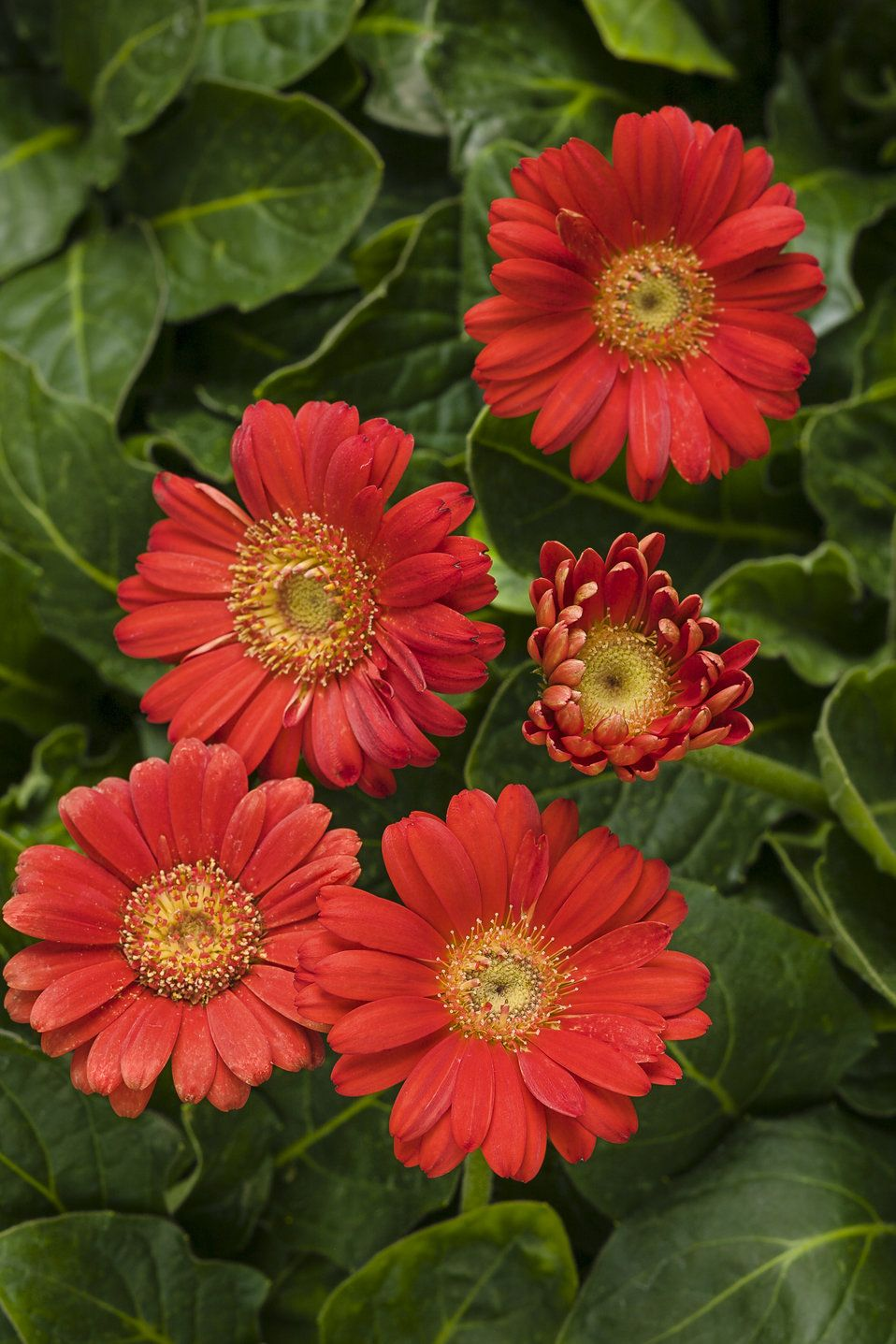 Hello Miss Scarlet Gerbera Daisy Gerbera Hybrid Flowers To