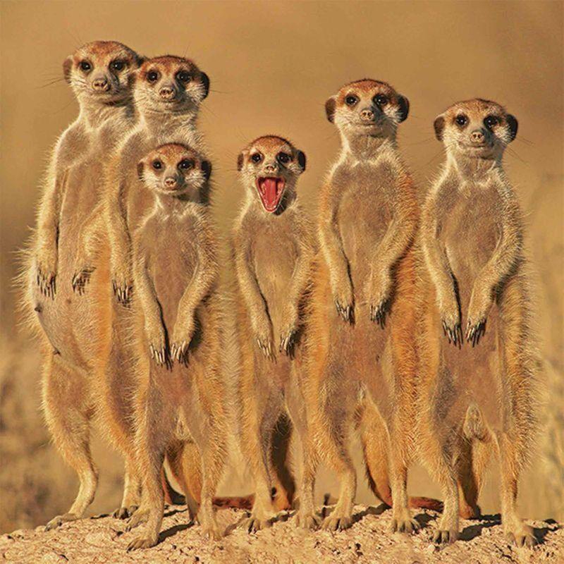 Artland Glasbild »EcoShot Erdmännchen Familie« Süßeste
