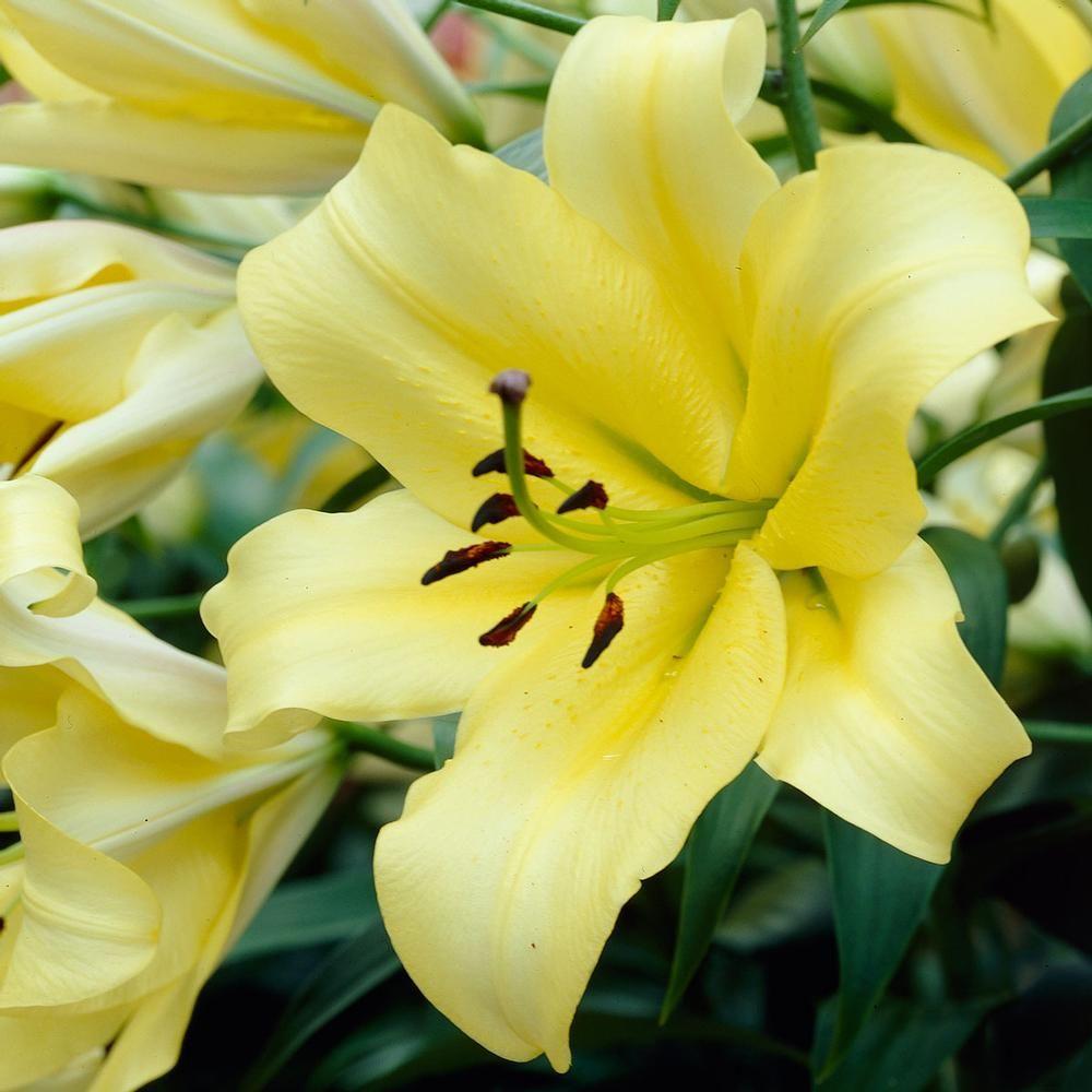STARGAZER LILY FLOWER BULBS JUMBO SIZE FRAGRANT PERENNIAL PLANTS GROW 4 FT TALL