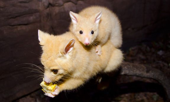 adorable golden brushtail possum - 575×347
