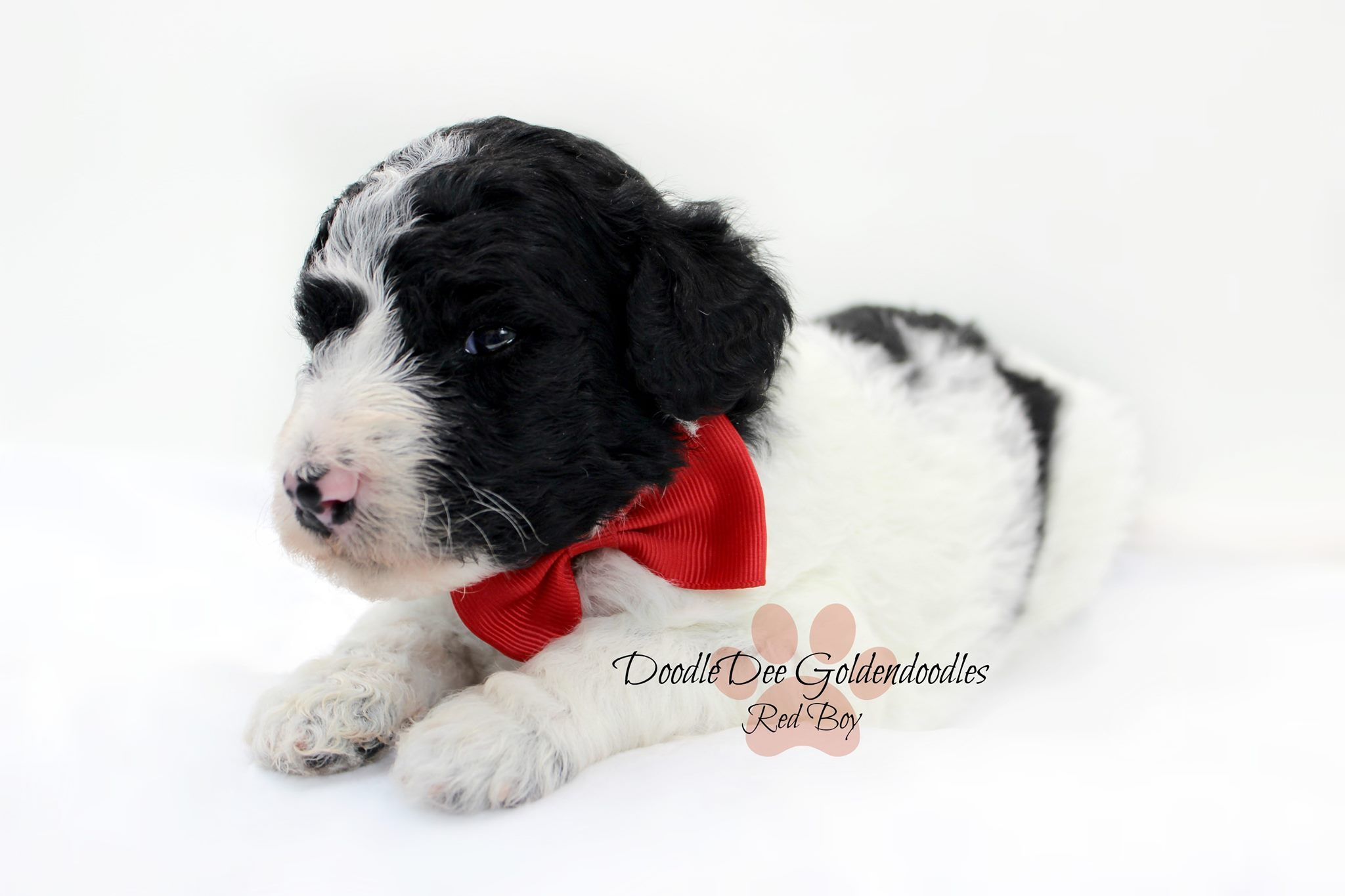 Mini Goldendoodle Goldendoodle, Mini goldendoodle, Early
