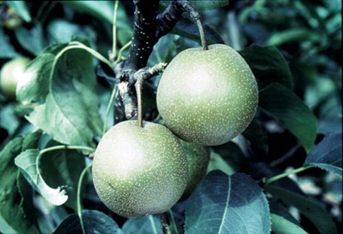 Asian pear varieties - oregon nurseries