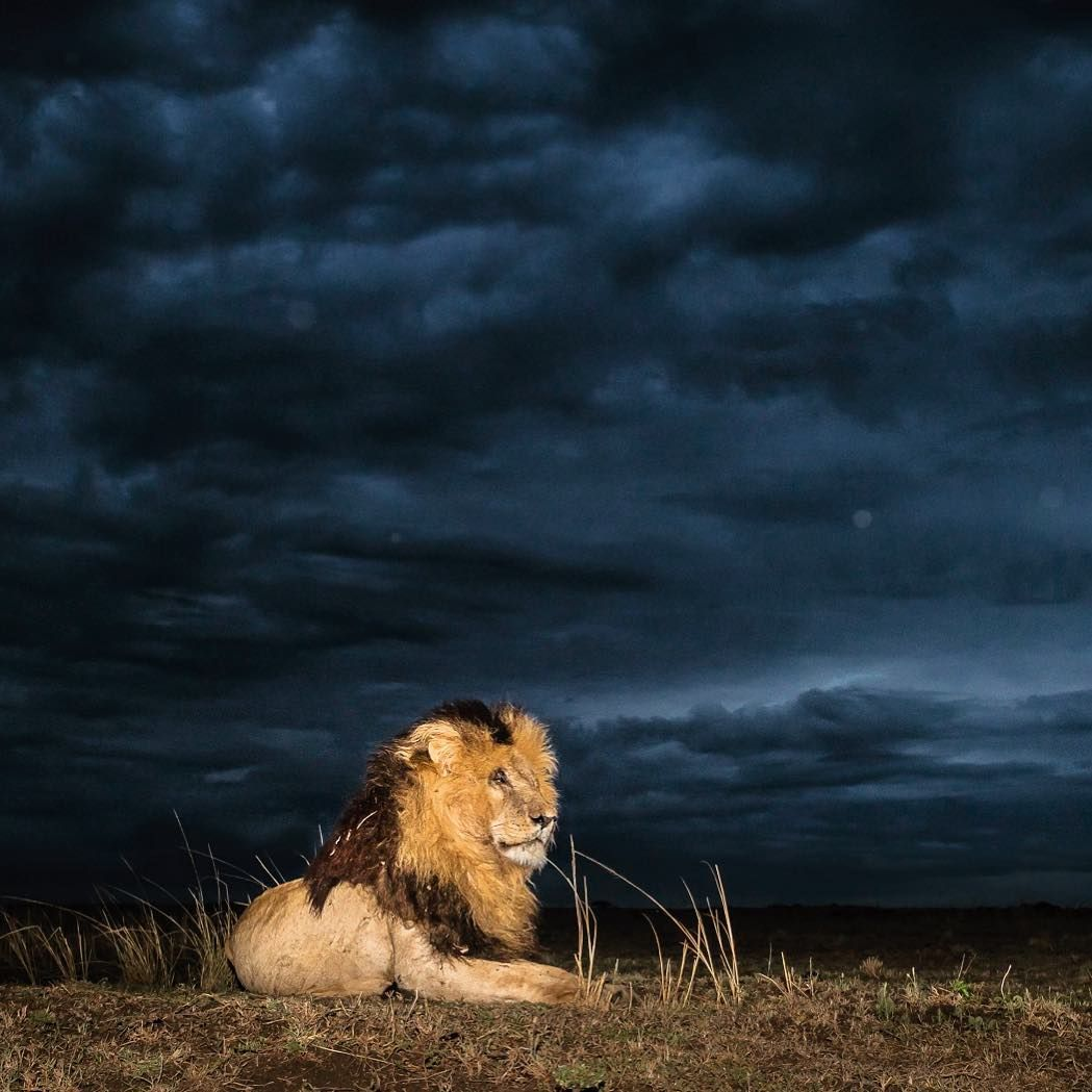 """ed7fe8250b Wim van den Heever Photography   """"Calm before the storm.... The famous Scar  staring into the stormy distance. I don t speak lion but I know he s  thinking   ..."""