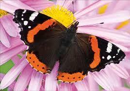 Картинки по запросу бабочки фото и названия | Бабочки ...
