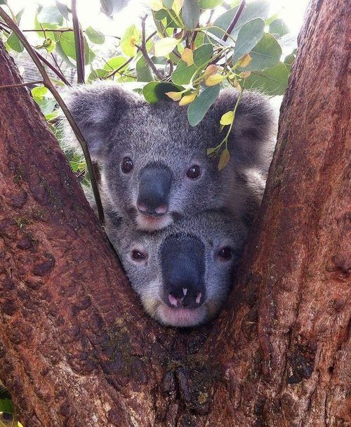 "Australian Native Koalas in the fork of a Eucalyptus ""Gum ..."