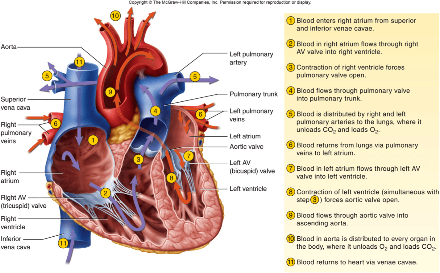 Image Result For Blood Flow Through The Heart