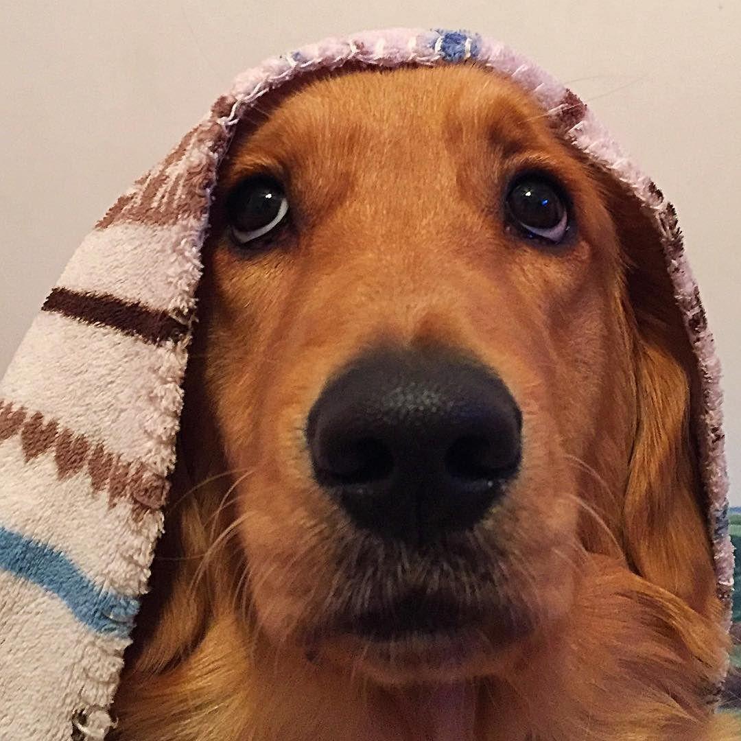Cold Kyah  #goldenretriever #goldens_ofinstagram #puppysketch #lacyandpaws #nature_cuties #gloriousgoldens #amazing_picturez_animals #animaladdicts #retrieversgram #retrieverstagram #ilovegolden_retrievers #mydogiscutest #puppystagram #bestwoof #topdogphoto #sendadogphoto #dogscorner by golden.kyah