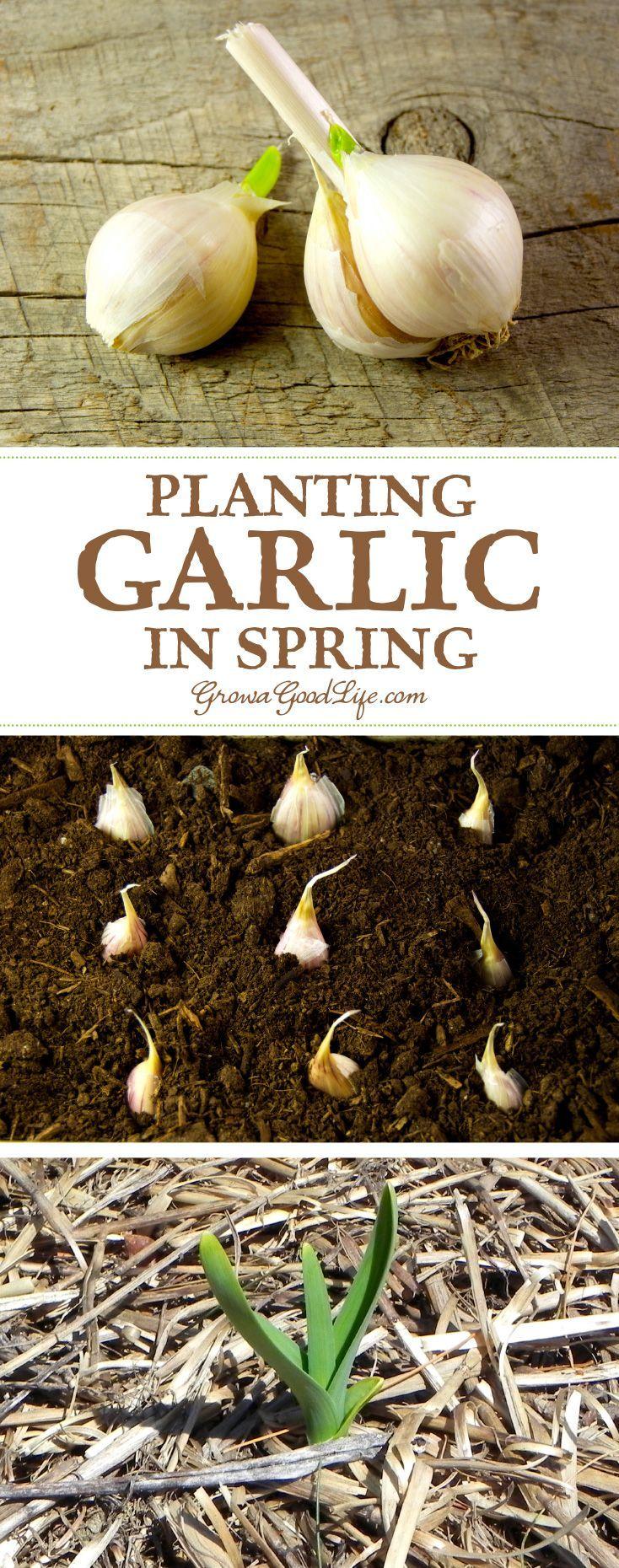 Planting Spring Garlic Planting Garlic In Spring 400 x 300