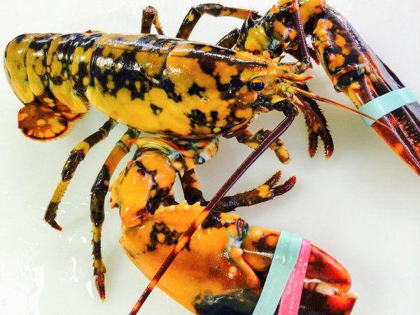 Rare 'calico' lobster found off the coast of Maine.