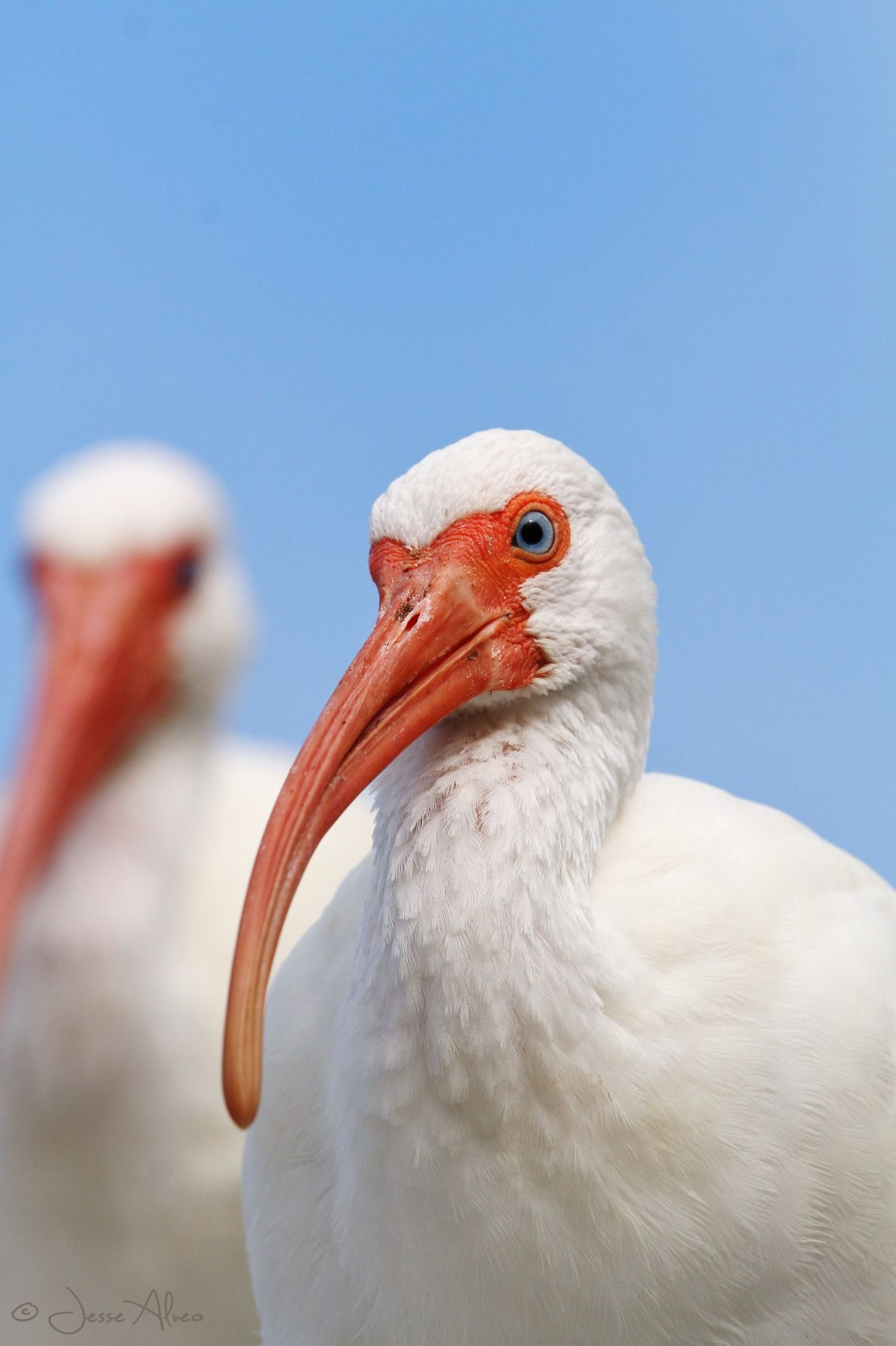 American White Ibis ~ Schneesichler ~ Eudocimus albus