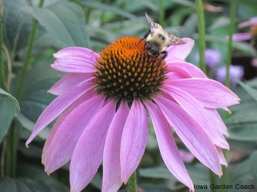 iowagardencoach.com: If working with nature is your motivation, natives like coneflower can be incorporated into your garden to support the cycle of nature.