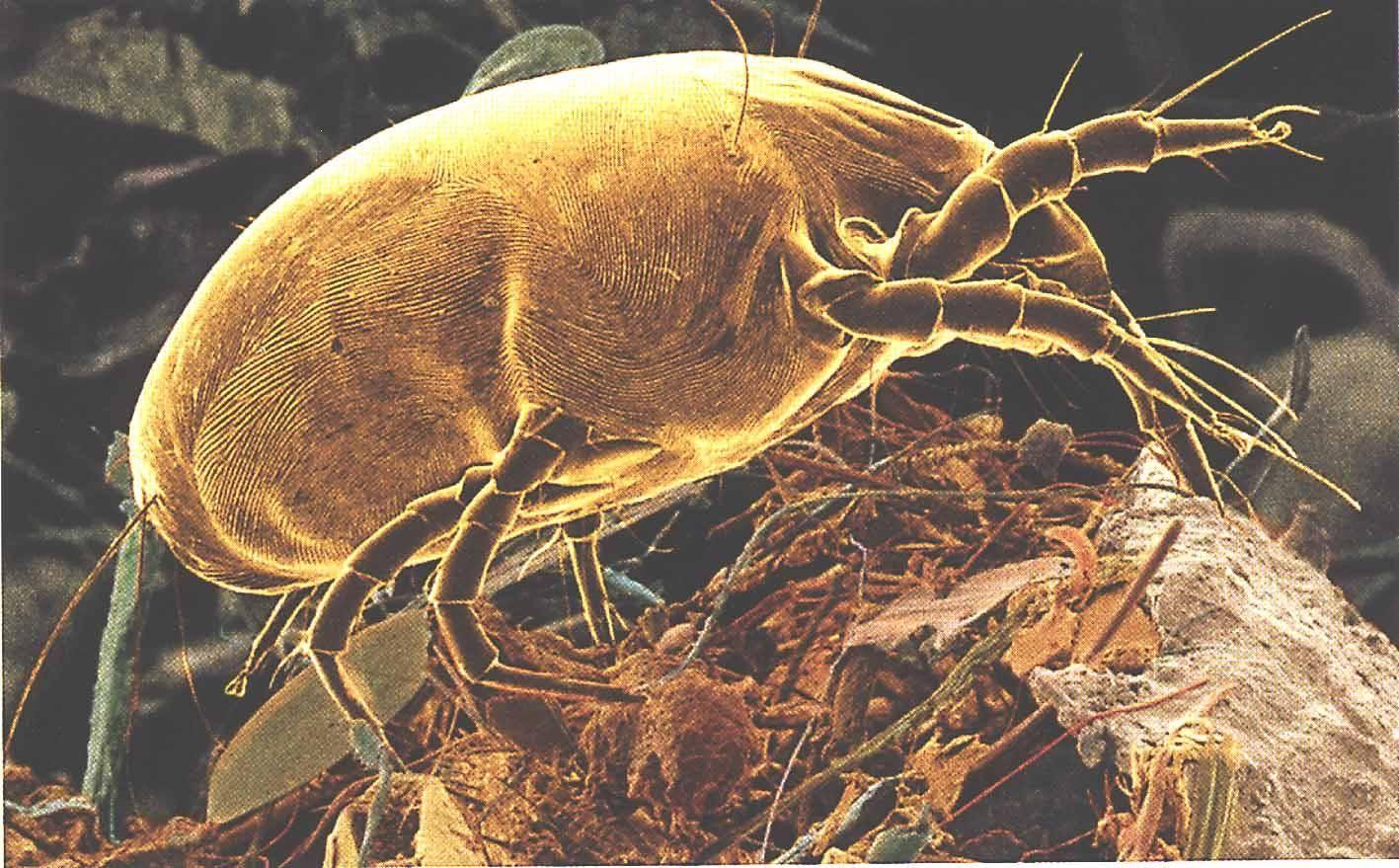 Cleanup Professionals Services Dust mites, Dust mite