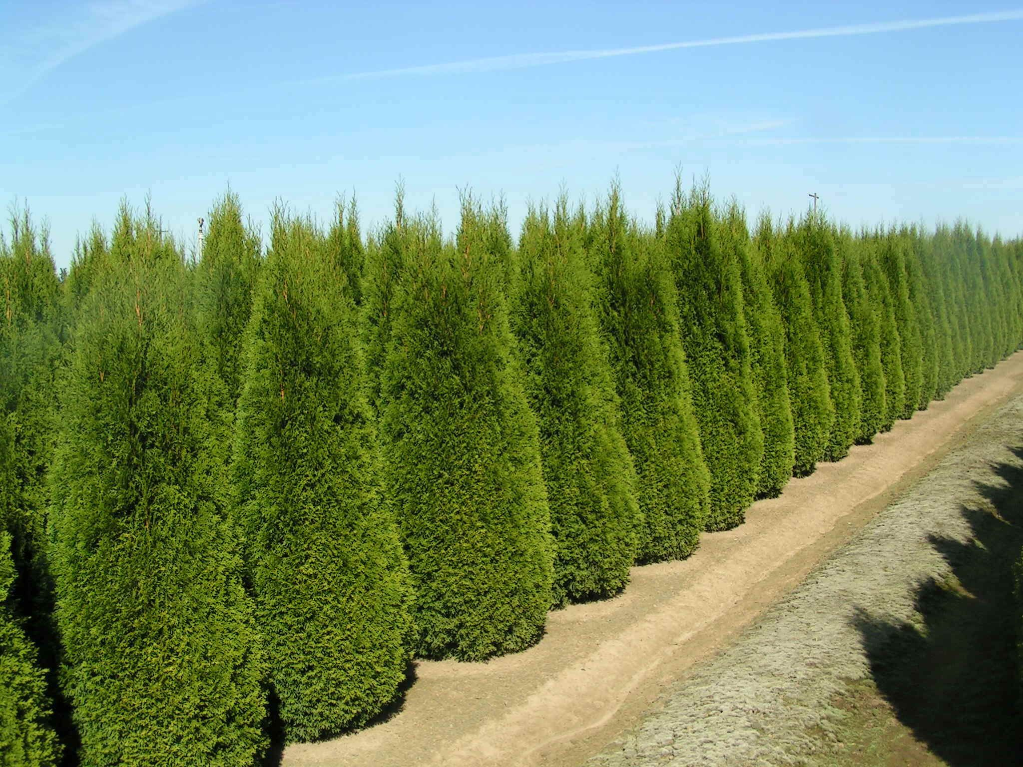EMERALD GREEN ARBORVITAE | Home