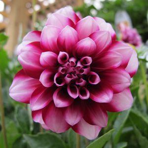 Dahlia Dalina Grande Colima Buy Dahlia Annuals Online Dahlia Beautiful Flowers Flower Garden