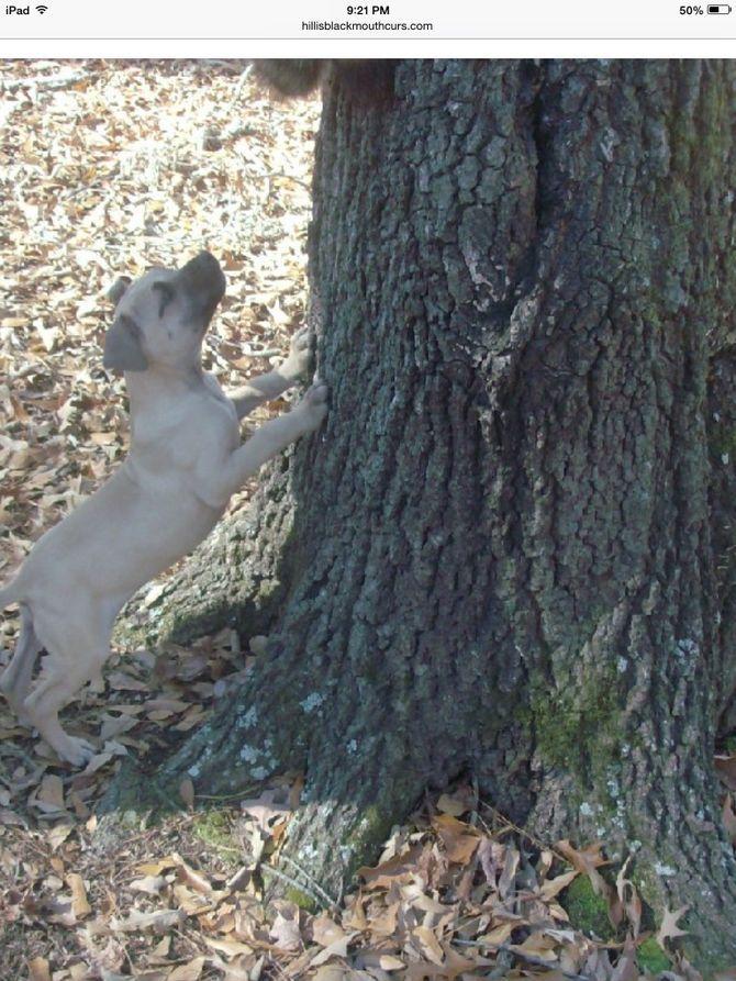 Train A Squirrel Dog Dog Training Squirrel Hunting Best Dogs
