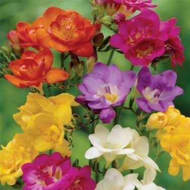 Freesia Seeds Freesia Royal Mix Flower Seed Beautiful Flowers Freesia Flowers Biennial Plants