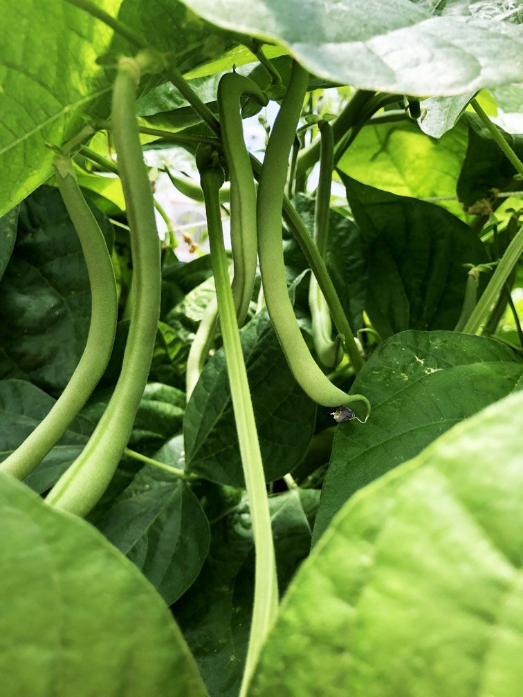 These Green Beans are ready to harvest. They are growing ...