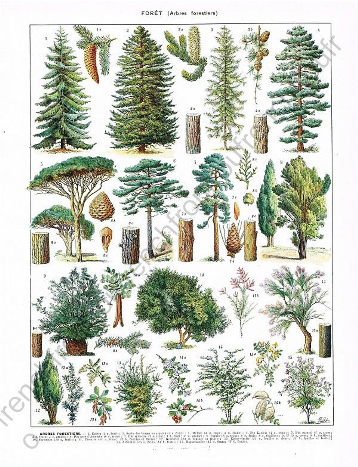 Vintage french botanical illustration trees forest