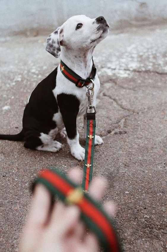 Collar Vs Harness Which Is Best For Your Dog Outdoors Gucci