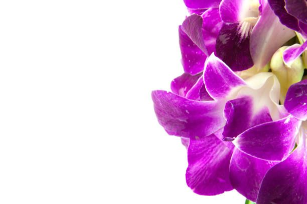 Purple Orchid Flower On White Background Orchid Flower Purple Orchids Orchids