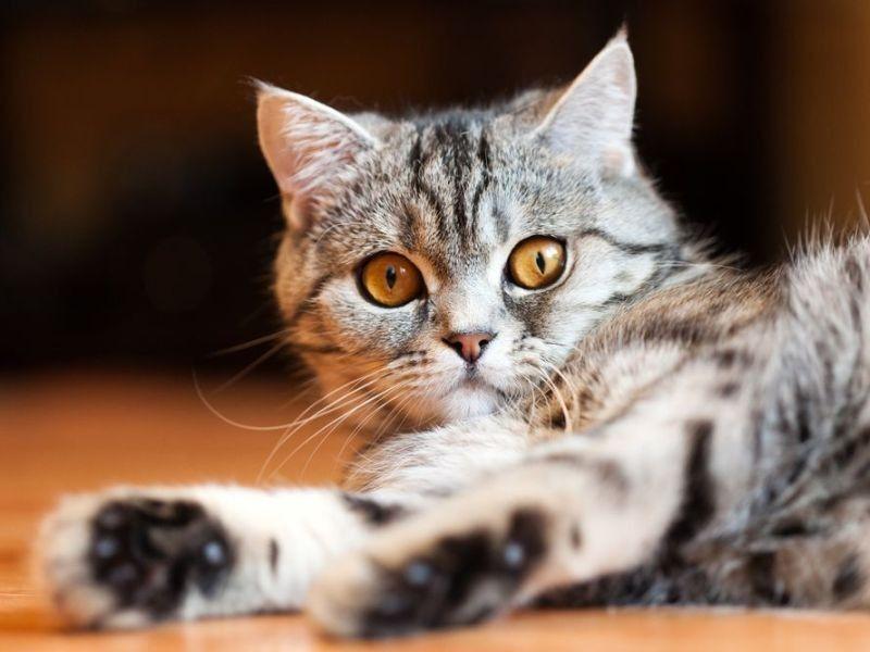 Britisch Kurzhaar Wunderschone Rassekatze Britisch Kurzhaar Katzen Baby Katzen