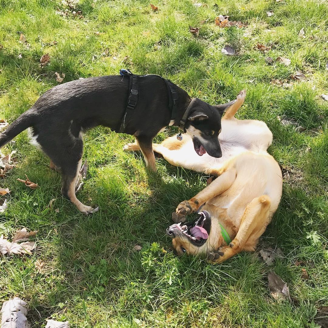 Tibetan terrier puppies for sale wales