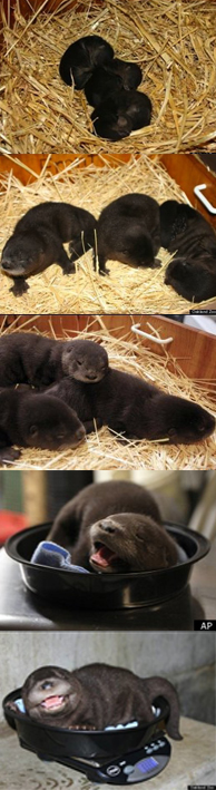 Baby Otters from Oakland Zoo.  How precious!  (I originally posted that these babies were from the LA Zoo that was not correct).