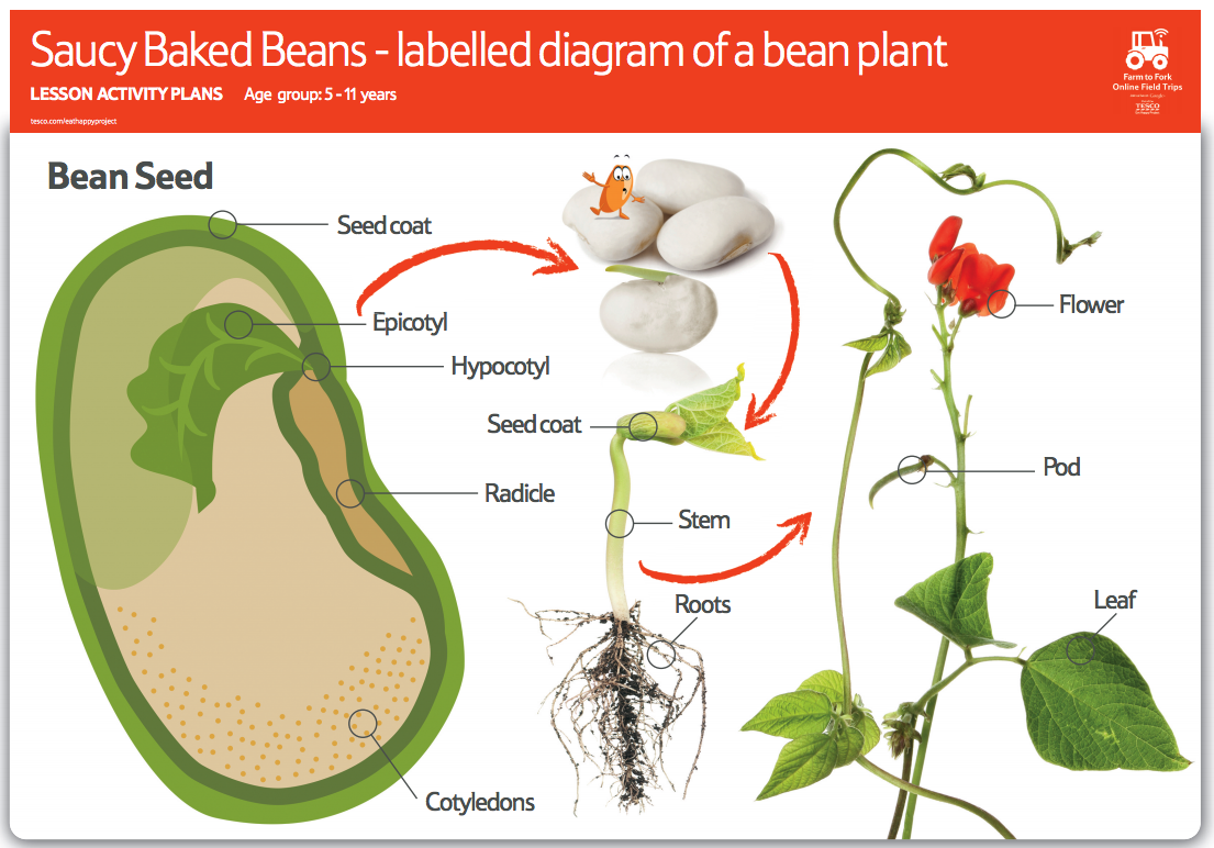 Ask your class to look at this bean plant diagram and name the a labelled diagram of a bean seed and a bean plant pooptronica Images