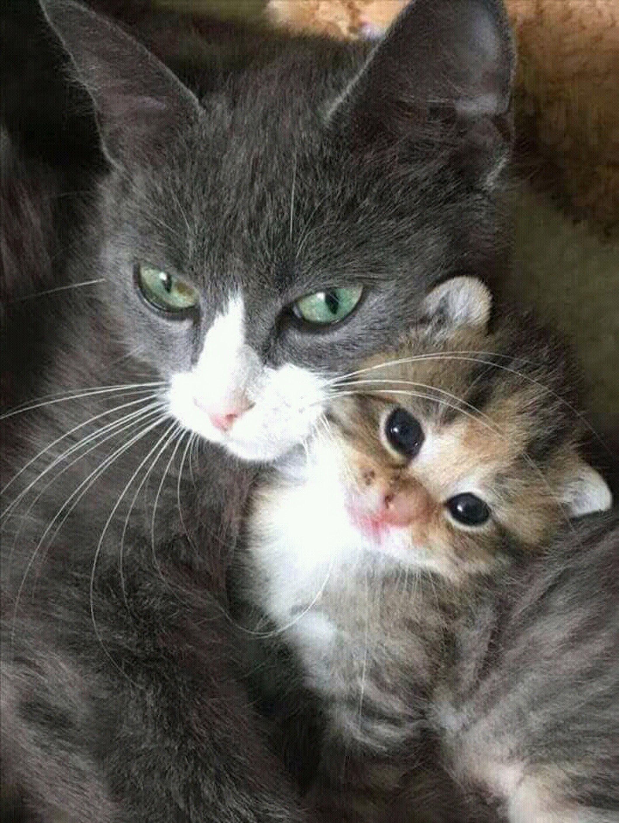 Sign In Beautiful Cats Kittens Cutest Mama Cat