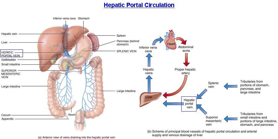 Hepatic portal system | Biology | Pinterest | Portal, Med school and ...