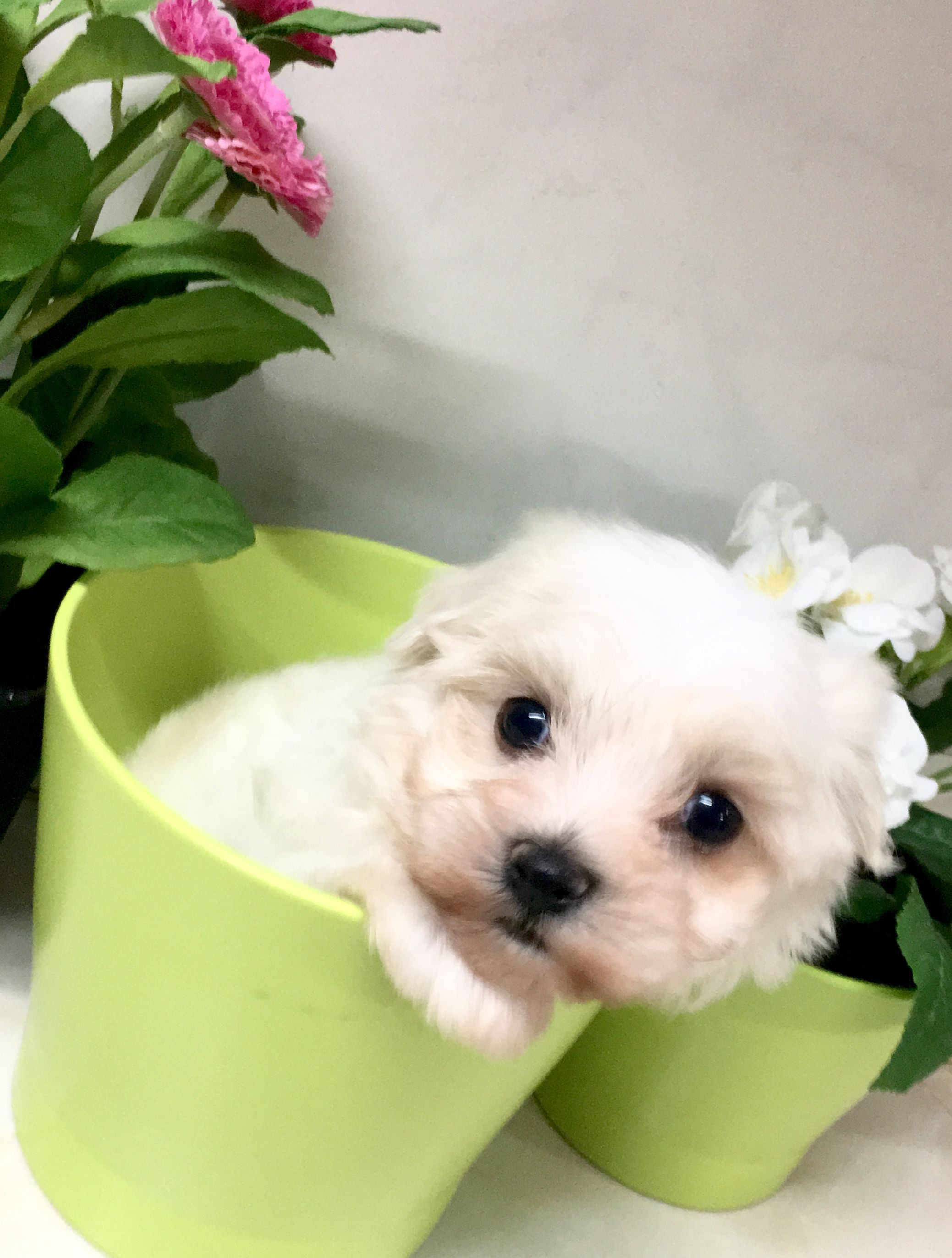 Maltes De Www Criaderoarai Es Cachorros Criadero Maltes Bichon Bichon Maltes Maltesedoggy Maltesedoggies Maltese Cute Animals Animals Animals And Pets