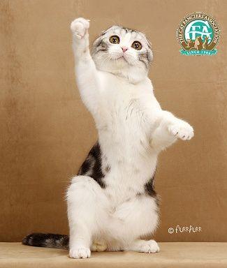 Gc Dw Foreverstar Silvery Dawn Silver Tabby White Shorthair Scottish Fold Male Cat Scottish Fold Scottish Fold Animal Kindom