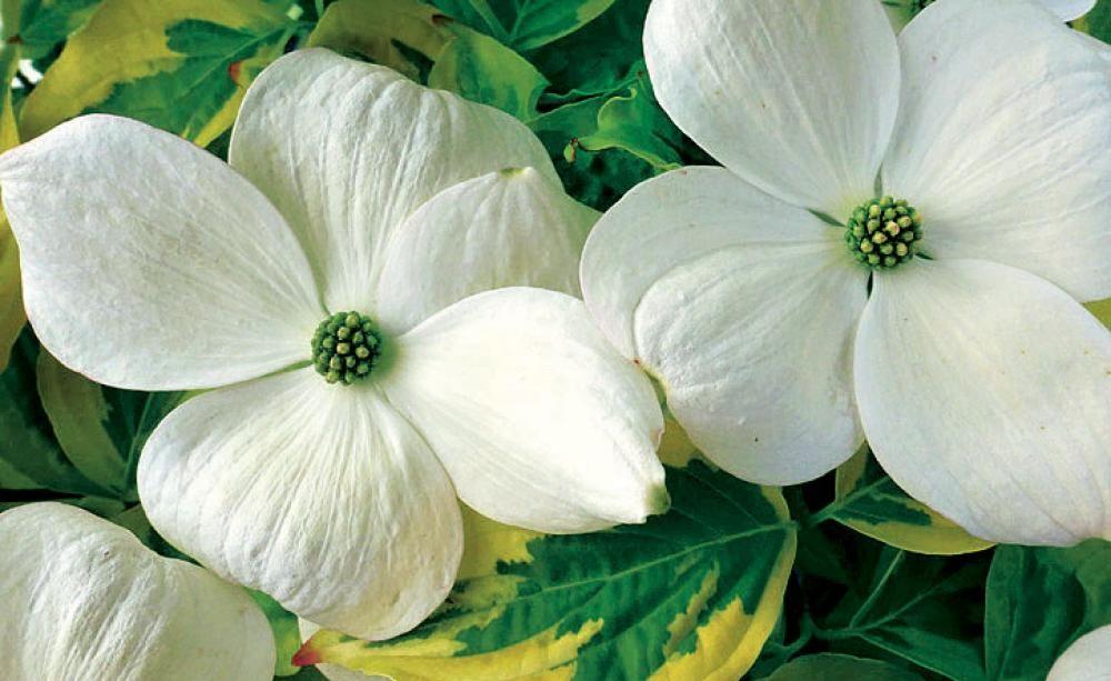 Blumen-Hartriegel: Vornehme Eleganz