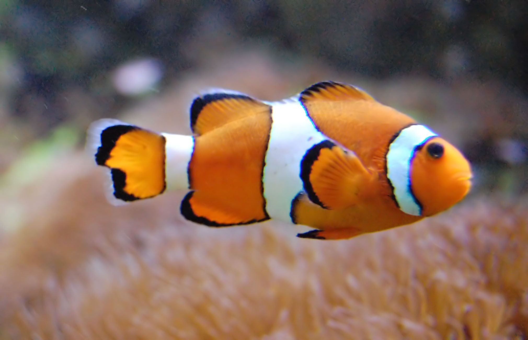 Poisson clown animaux marins pinterest poisson clown for Poisson exotique aquarium