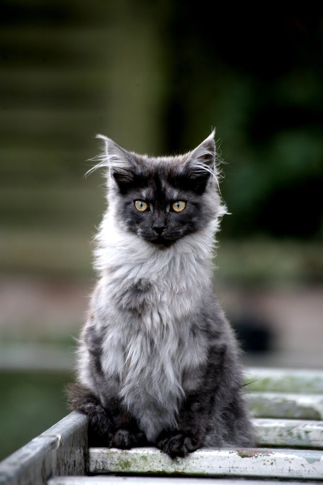 Maine Coon Cat ~ lovely smoke / silver color ♥