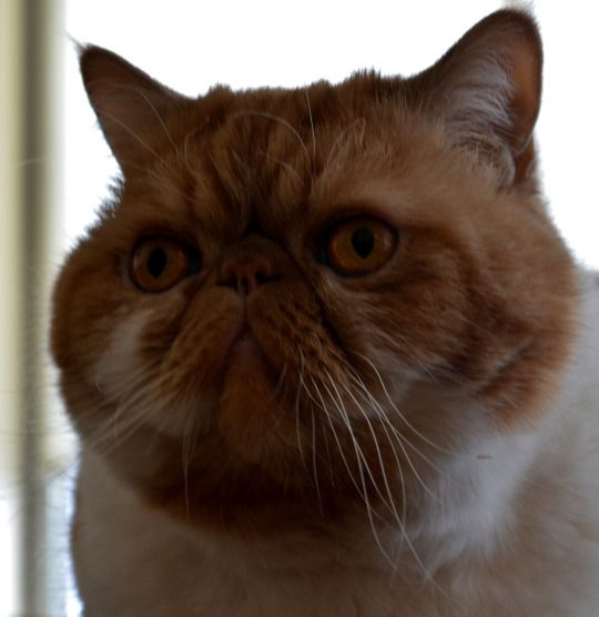 Pin On Chester Smooshyface Exotic Shorthair Cats In Nyc